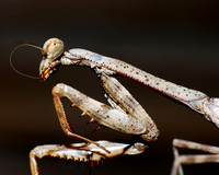 After eating, the mantis spent some time grooming by using his front leg to pull his antennae into his mouth.